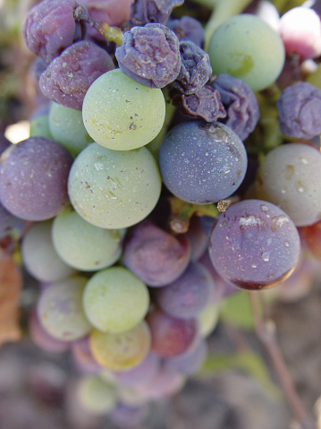 Veraison When the Wine Grapes Turn Color