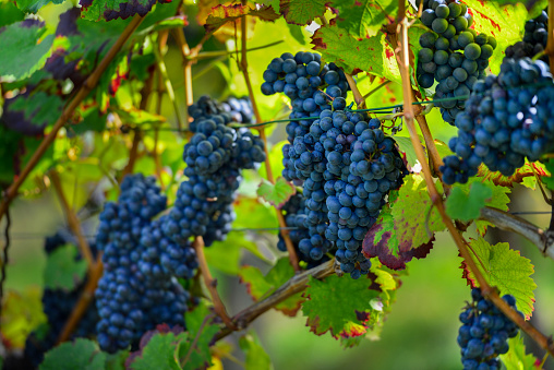 Ripe German Grapes