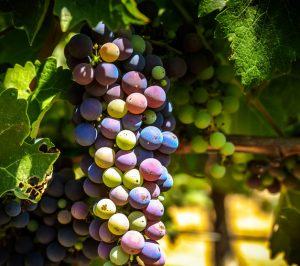 grapes almost ready for harvest, in their veraison stage