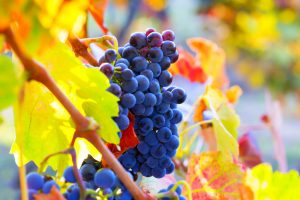 Bunch of red wine grapes hang from a vine with colorful leaves and blurry details.